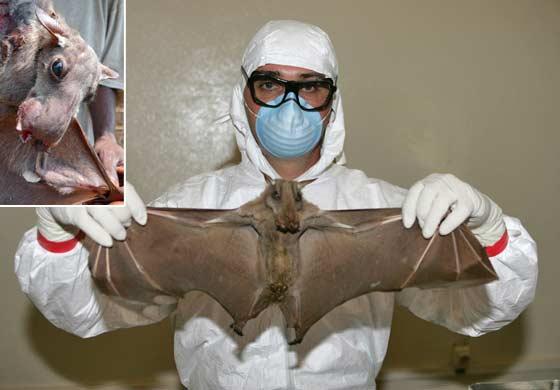 virus-Ebola-chauves-souris30