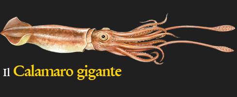 imgCalamaroGigante