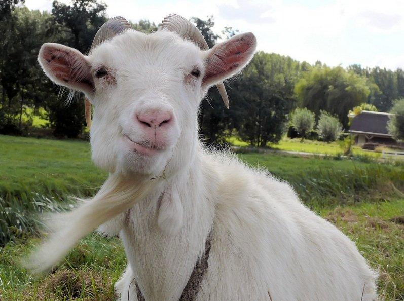 goat.jpg__800x600_q85_crop