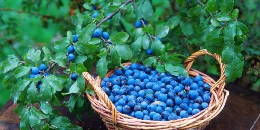 Prunus-Spinosa-Trigno-bacche-1024x512