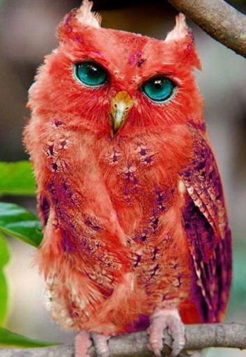madagascar-red-owl