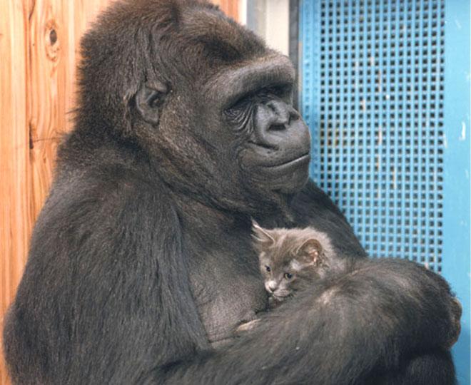 Koko E Il Messaggio Alluomo Facciamo Chiarezza Butac Bufale Un