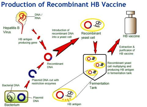Productions of Recombinant Hepatitis B Vaccine