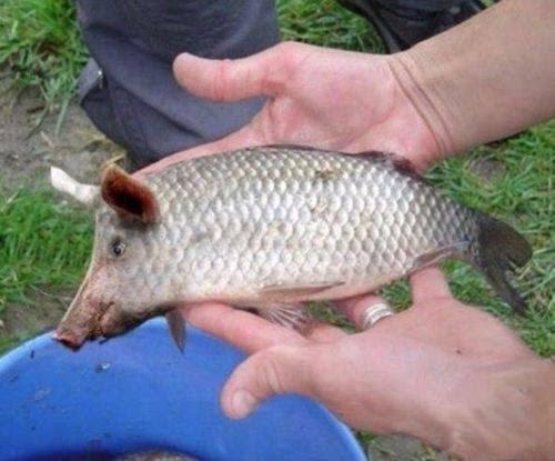 pesciporco