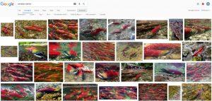 screenshot di google, con immagini che ritraggono pesci simili