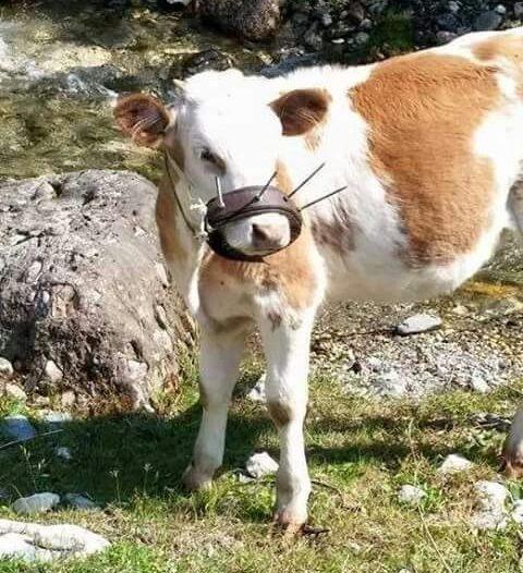 80b9c9dae68 Lo svezzamento dei vitelli — BUTAC - Bufale un tanto al chilo